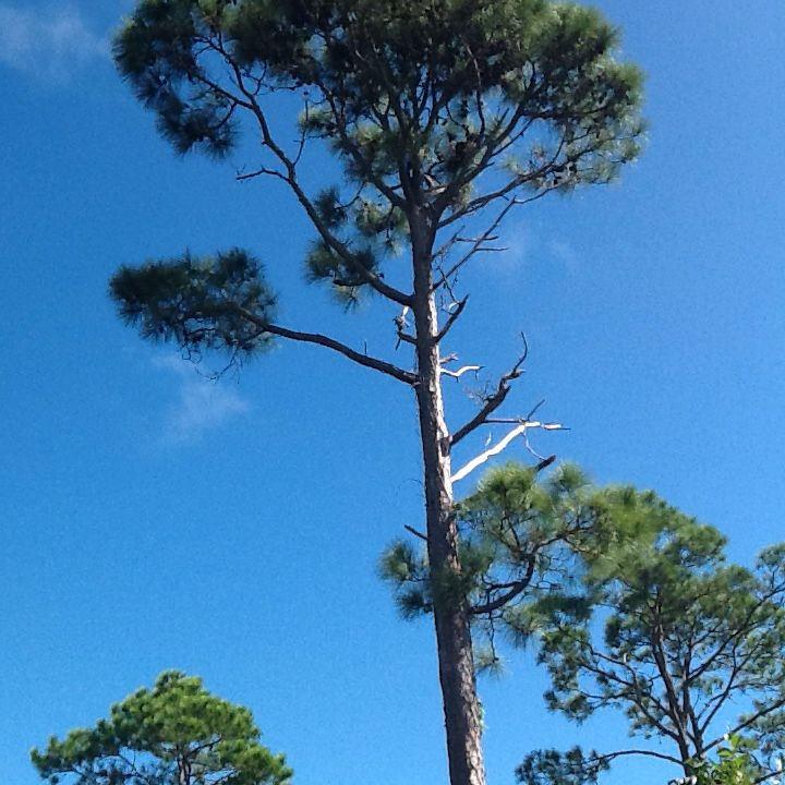 Pine tree along hiway to Grand Lucayan Natl Park.  Logging these pines was the orginal industry in the Grand Bahamas, leading to development of the island.