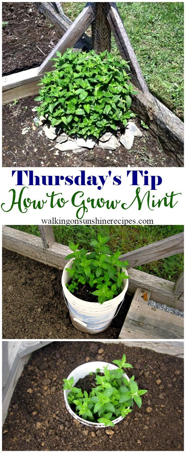 5 Tips on How to Grow Mint in Your Garden - Thursday's Tip from Walking on Sunshine Recipes