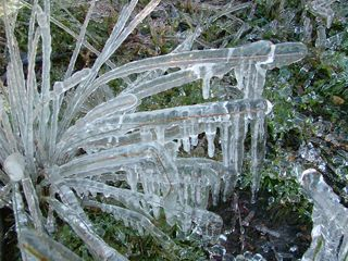 'iced' grass on a very cold day