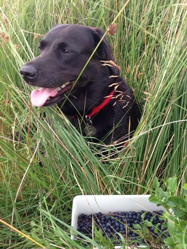 My dog loves helping me pick wimberries #MyDogLoves #Bestinthecountry
