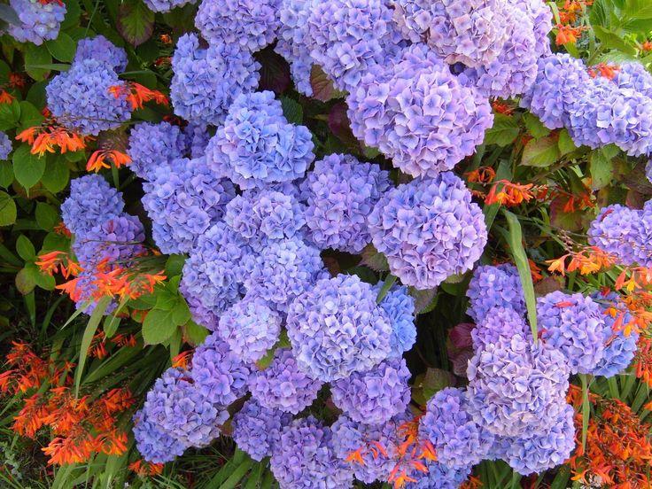 hydrangea-purple-blue-hydrangea-macrophylla.jpg Mine and my Cousin Narcie;s Favorite flower.