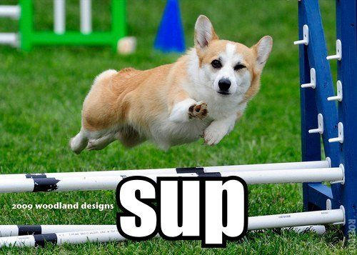 'sup.: Dogs Agility, Funny Corgi Pictures, Hilar Pictures, Hilarious Animal, Comic Creatures, Animal Friends, Dogs Pictures, Beautiful Creatures, Adorable Animal