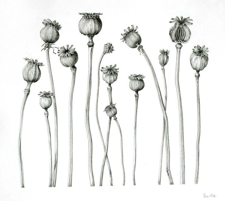 botanical illustration by Sue Vize