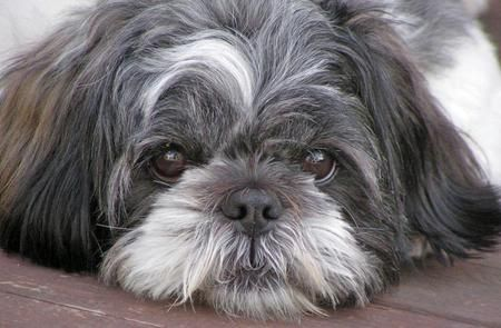 Every home needs a loyal dog, especially a Lhasa Apso.