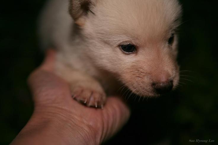 Korea puppy