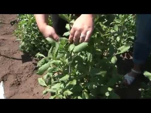 Topping your dahlia