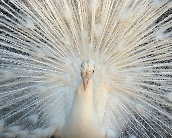 Hey, I found this really awesome Etsy listing at https://www.etsy.com/listing/49816912/white-peacock-albino-bird-feathers-cream
