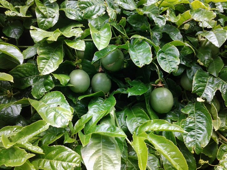 part of my passion fruit vine.