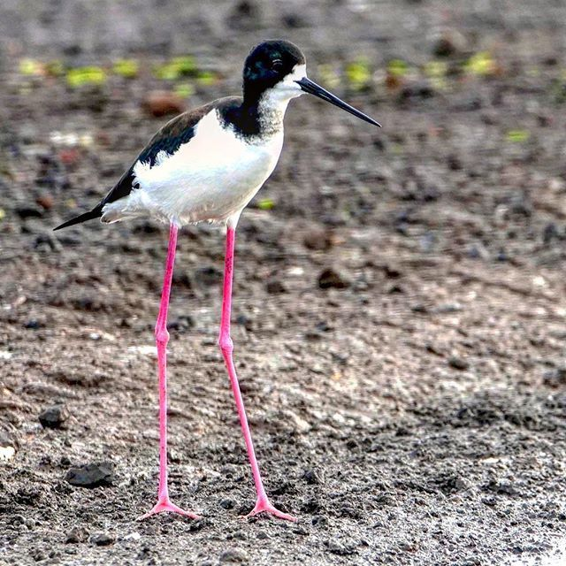 What was that ZZ Top song about LEGS? Black necked stilt knows how to use them. This is HI version. #stilts #shorebird #legs #pink #blackneckedstilt #ronspomeroutdoors #birdphotos #lumixg9