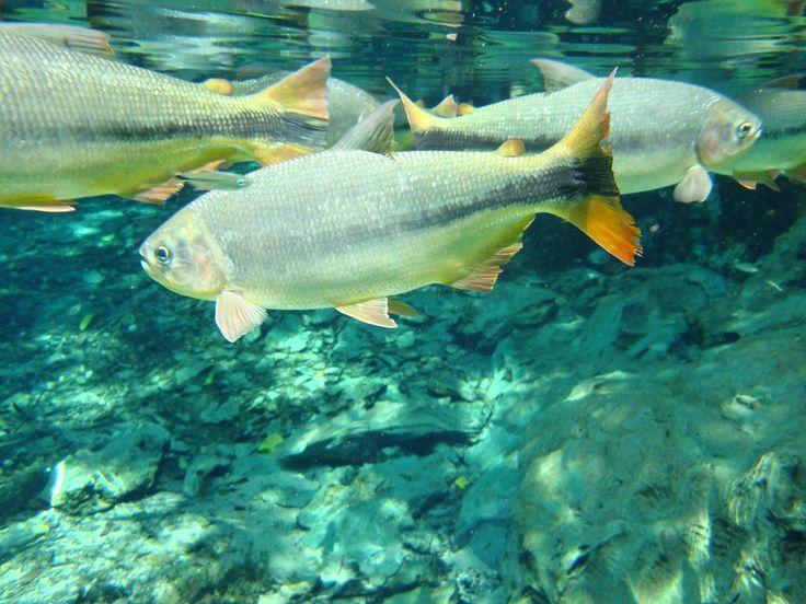 Qué es la osmorregulación en peces de agua dulce y agua salada - http://www.depeces.com/la-osmorregulacion-peces-agua-dulce-agua-salada.html