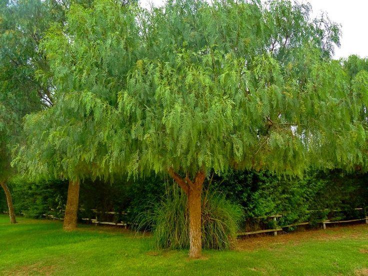 Mejores 24 im genes de rboles de crecimiento r pido en for Arboles sombra jardin