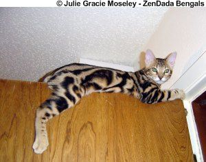 Marble Bengal cat - Beautiful and smart cats. This is where I'm sure we will find Corey Oy at some point!
