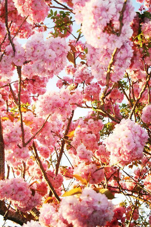 { cherry blossoms }