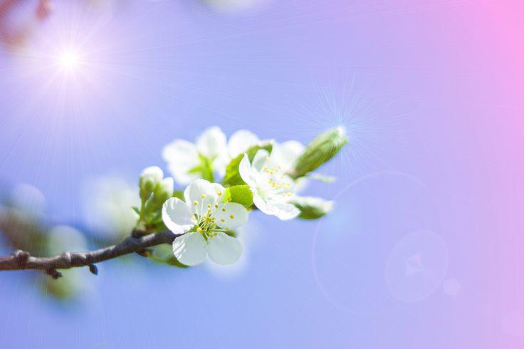 весна, вишня, цветы
