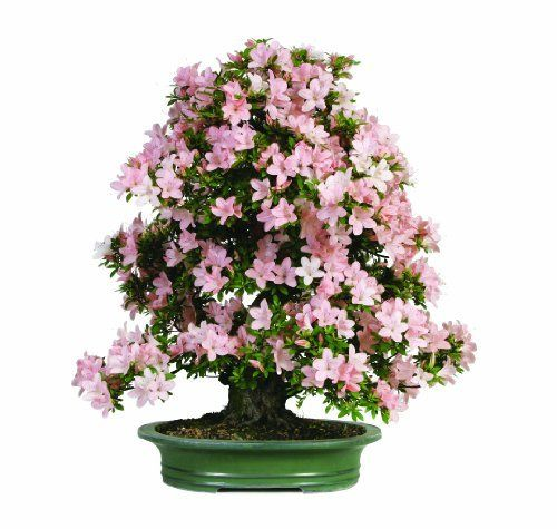 Brussel's Satsuki Azalea Specimen Bonsai, Age: 30 Yrs; Height - 28-Inch, ST7018SA-J by Brussel's Bonsai. $1754.13. Enjoy an explosion of pink blooms in May. Informal upright style. Rhododendron indicum. Elegant container completes the presentation. Age: 30 Yrs; Height - 28-inch. This taller Satsuki Azalea is a real beauty. It is loaded with pink blooms in the late spring.. Save 10% Off!