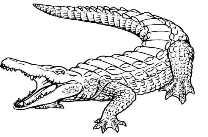 Collection Of Alligator Coloring Pages In 2020 Animal Coloring