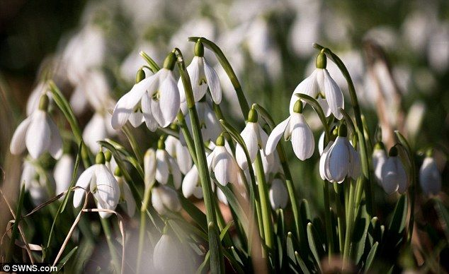 spring flowers - Snowdrops