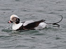 Long-tailed Duck, Boddam, 18-Mar-14