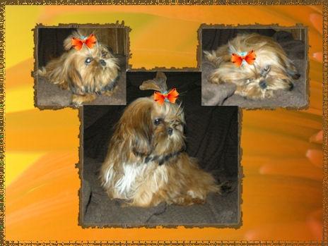 Sophie Jensen Chinese Imperial Dog Imperial Shih tzu pedigree