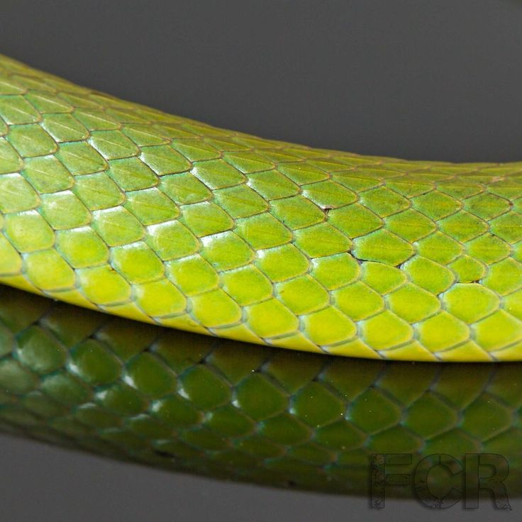 First Choice Reptiles - Florida Rough Green Snakes For Sale, $20.00 (http://www.firstchoicereptiles.com/florida-rough-green-snakes-for-sale/)