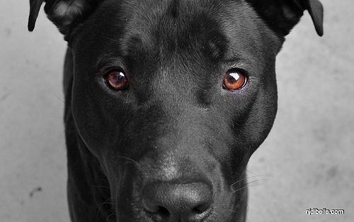 mojo the black lab pitbull mix things i love pinterest
