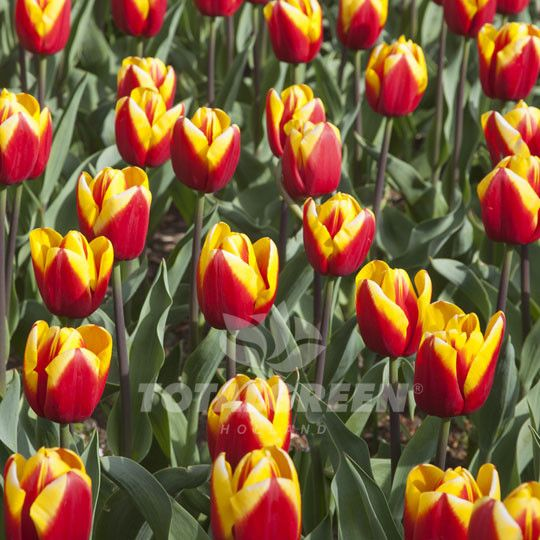 Laura Fygi is a favorite among many people. This red tulip with yellow edges adds a festive touch to the environment. It signifies excitement and happiness in one flower. Variety Triumph Tulip Flower