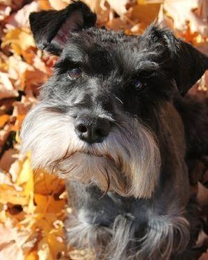 Schnauzer in Autumn