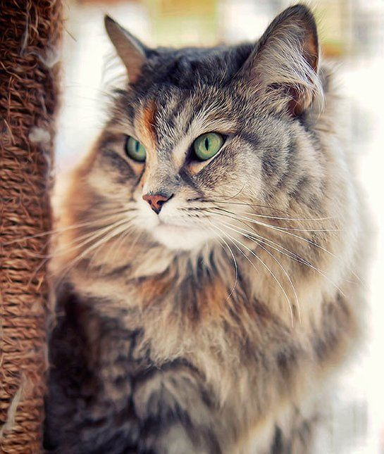 Siberian Well known for its long, remarkably shaggy fur, the Siberian is probably not the first breed to come to most people's minds when trying to think of possibly hypoallergenic cat breeds. But like Balinese cats and Russian blues, many Siberians seem to produce less Fel d 1 protein than regular cats. Some allergy sufferers with extreme allergic reactions to cats have reported no symptoms at all even when surrounded by many Siberians.