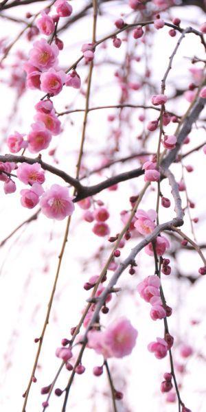 Inspiration - Pink Plum Blossoms