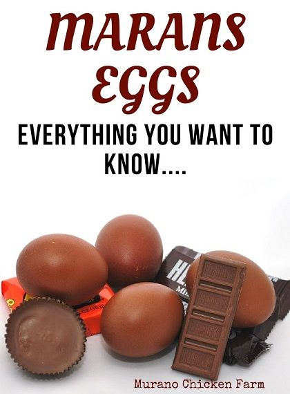 Marans egg facts and myths. The darkest chocolate brown eggs are laid by hens from France called Marans. Marans re believed to be the best tasting eggs in the world.