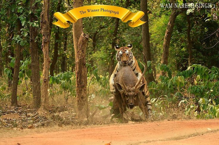 Ecstatic to share that Naresh Singh Aka Gudda Senior Naturalist at Kings Lodge Bandhavgarh won the first prize in MP Tiger Foundation Society Photography Contest.  This is a very special image and a record of such action will remained unparalleled for a long time.  Behind this picture are over 300 park visits every season for the last ten years perseverance immense subject knowledge and shooting the image correctly in a flash when it mattered most. We are so proud of you Gudda…