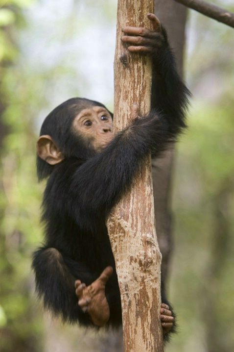Cute Baby Animal Pictures Wallpapers Baby Monkeys And Apes Including Humans Will Grasp Things