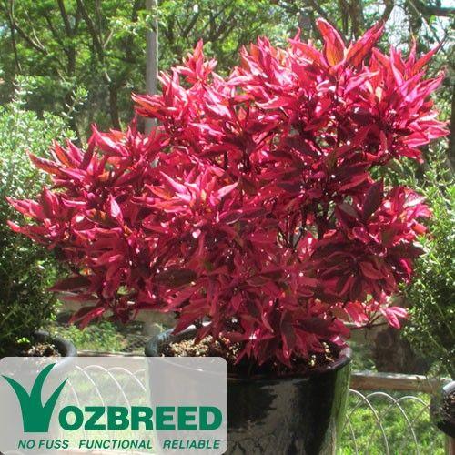 Alternanthera dentata BRAZILIAN RED HOTS™  http://www.australianplantsonline.com.au/alternanthera-brazilian-red-hots.html