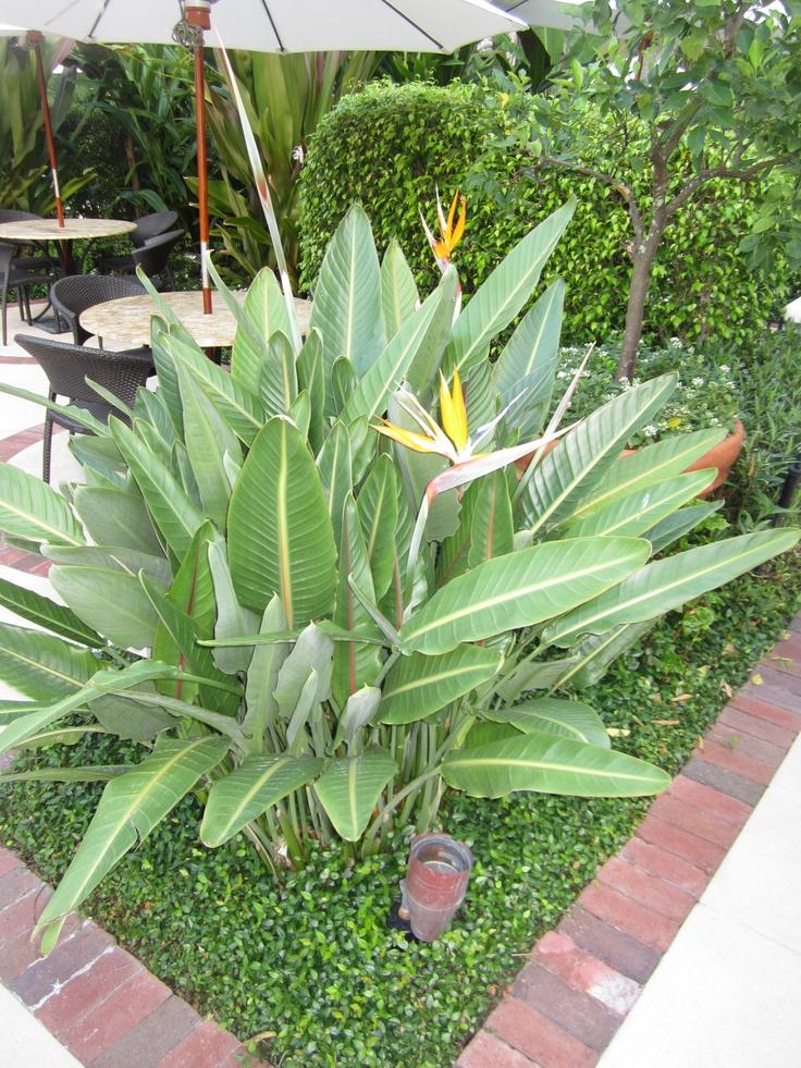 Strelitzia Reginae Orange Bird Of Paradise This Is An Old Florida Favorite The