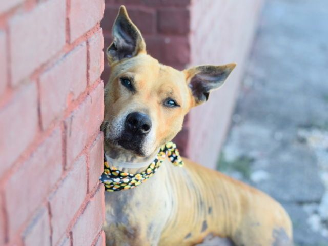 CHINA - A1090861 - - Brooklyn  Please Share:TO BE DESTROYED 10/10/16**AVERAGE RATED DOLL**A volunteer writes: I know at first glance you might think China is a hyena– those big ears and spots can be deceiving– but she's actually a sweet little lady dog. Much calmer, quieter, and prettier than a real hyena.  China is a sweet, wiggly ball of happiness despite her splotchy skin (she will likely need some extra care and attention to deal with her skin prob