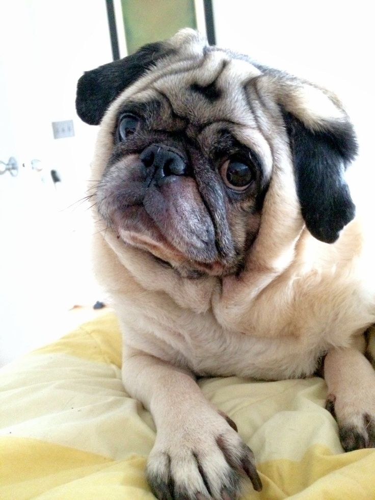 467 best dogs pugs images on pinterest pug dogs pugs and doggies puggy are you hungry thecheapjerseys Gallery