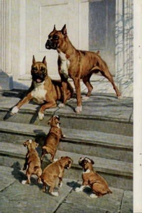 National Geographic Illustration 1958 - featuring Boxer dog and puppies