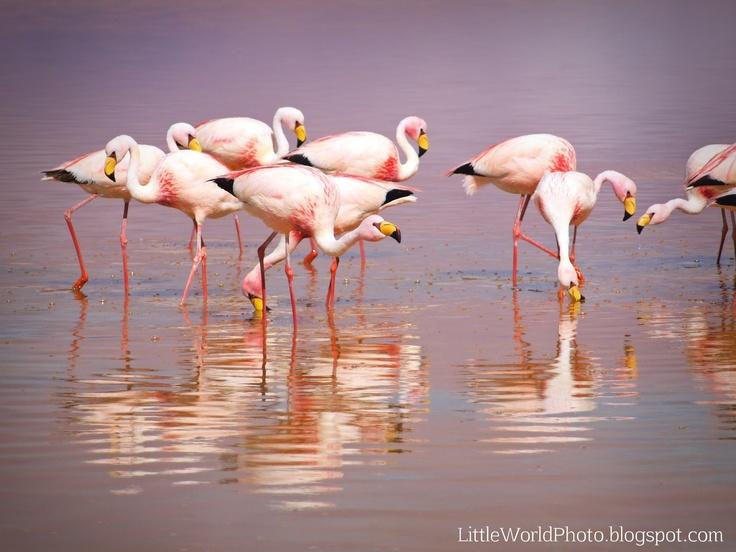 Flamingos. Laguna Colorada, Bolivia