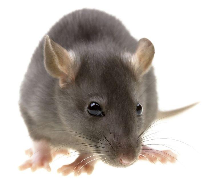Советы, Как избавиться от мышей и крыс
