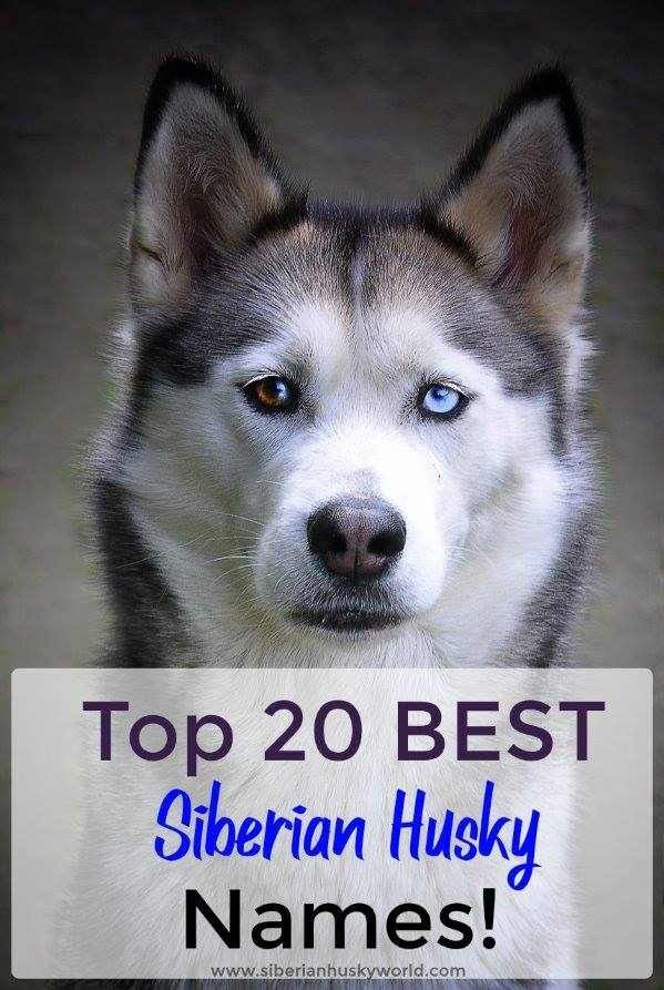 Top 20 Best Siberian Husky Names Husky Names Best Dog Names Siberian Husky Names
