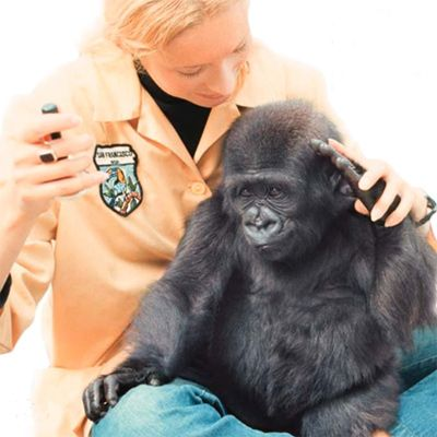 penny and koko the gorilla | ... photo by ronald h cohn copyright 2011 the gorilla foundation koko org