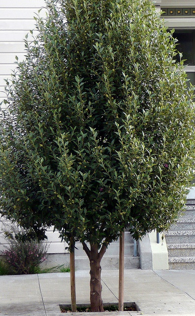 Lagunaria patersonii #3 by J.G. in S.F., via Flickr