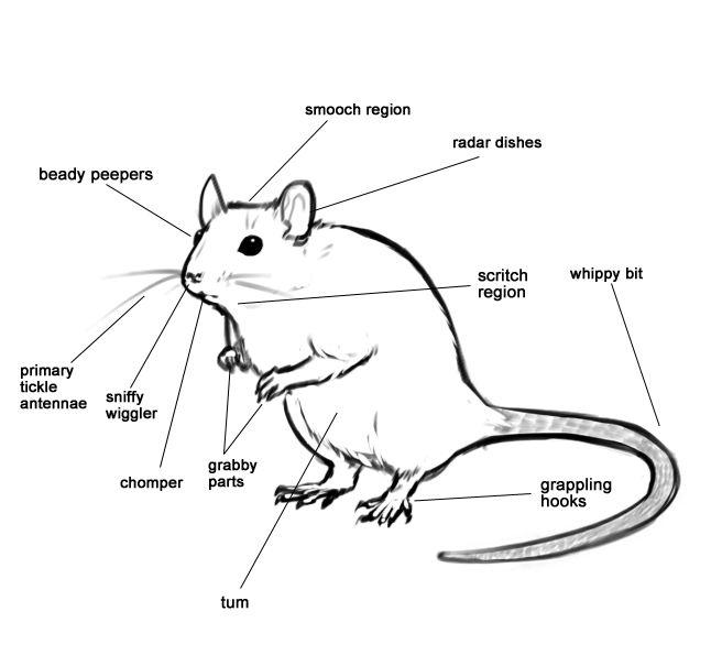 rat anatomy  waaaa  so cute          source