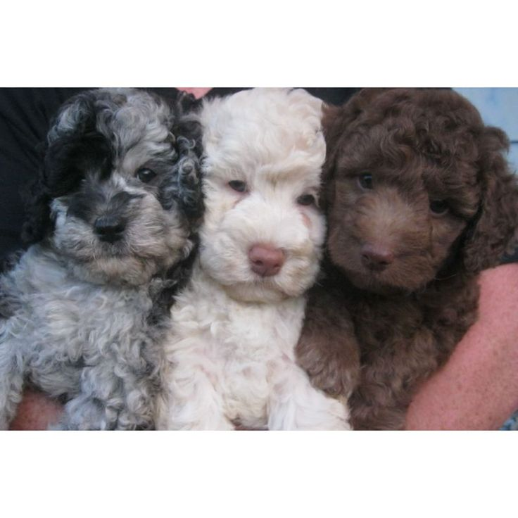 Miniature Goldendoodles, Toy Goldendoodles.... I want the brown one!