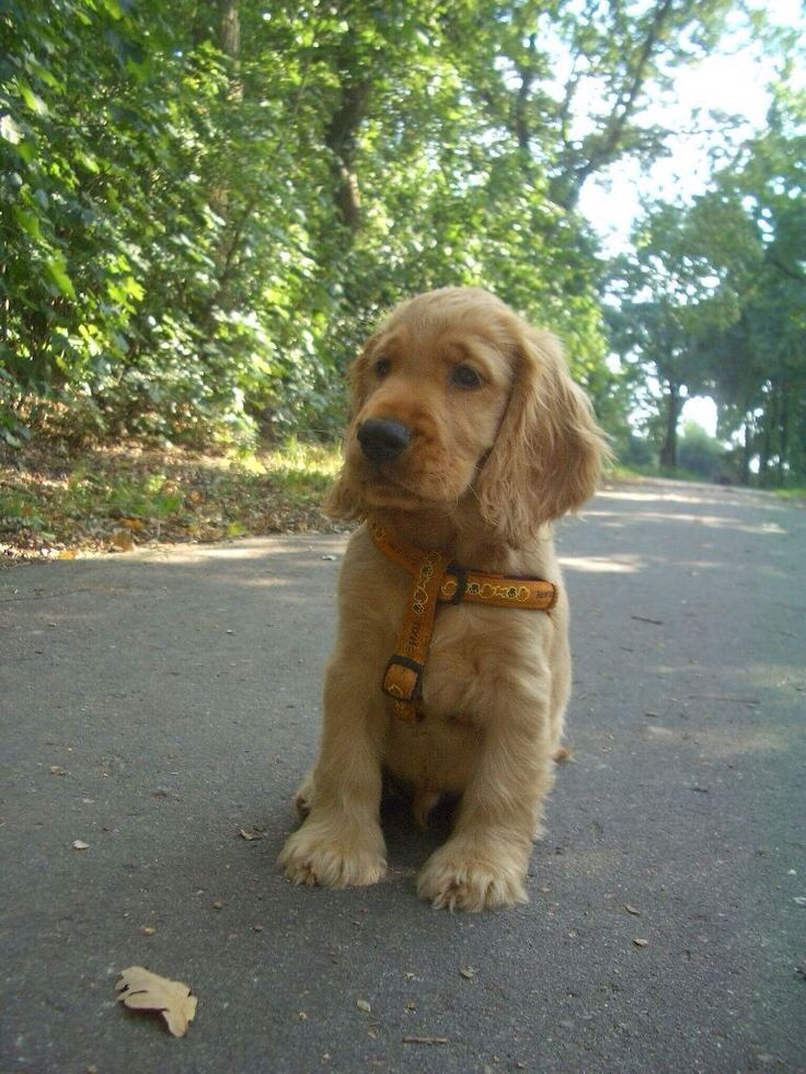golden cocker spaniel puppies fluffy friends pinterest 25 best ideas about golden cocker retriever on pinterest
