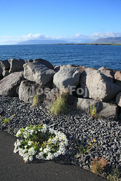 A view from the Reykjavik quay to the north-west. In the foreground is not a garland, but an incredible bunch of daisy flowers, growing in the omnipresent gravel. Iceland..