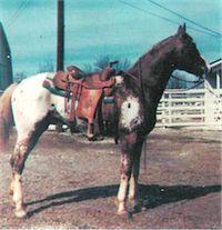 Patchy  Topa  42633  (Patchy Yamini F-1907 x Mi Wacon F-1892)  Source Appaloosa News 3-81:197, 2-70:108