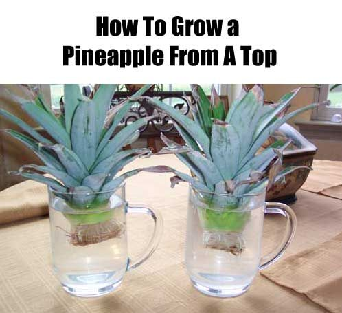 125 best houseplants images on pinterest backyard patio for How to plant a pineapple top in a pot