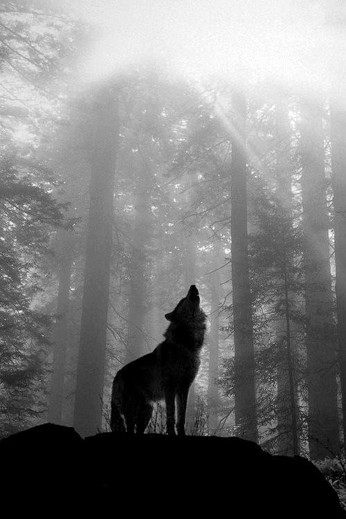 The lone wolf sings to his Creator and his pack. A shadow in the forest so ancient, so innocent, so beautiful, and so misunderstood by humans who think they're so intelligent but still miss the whole point!