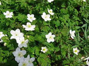 Eastern False Rue Anemone (enemion biternatum): Enemion biternatum (also Isopyrum biternatum), commonly known as the false rue-anemone, is a spring ephemeral native to moist deciduous woodland in the eastern United States and extreme southern Ontario.  https://en.wikipedia.org/wiki/Enemion%20biternatum